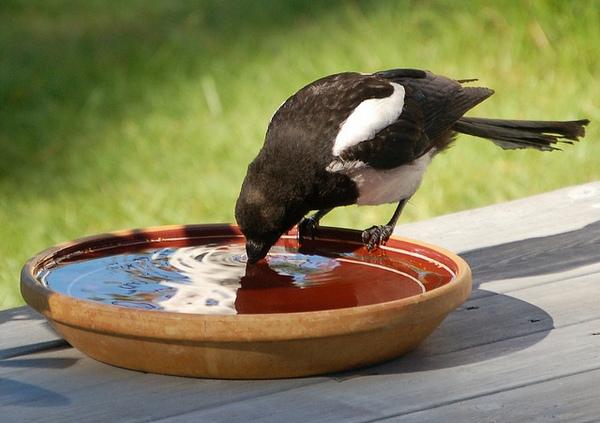 водопой для птиц