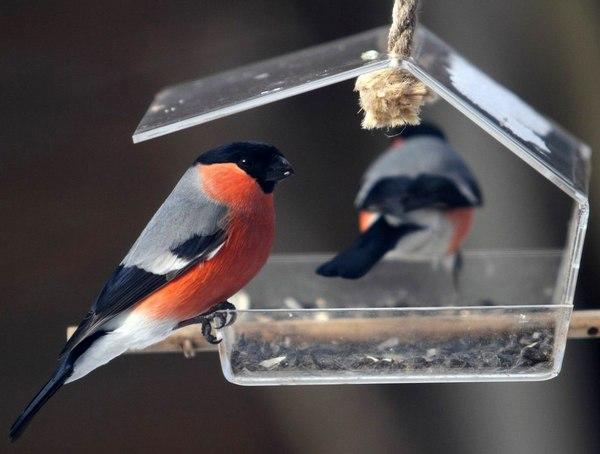 какие птицы прилетают зимой к кормушкам фото как